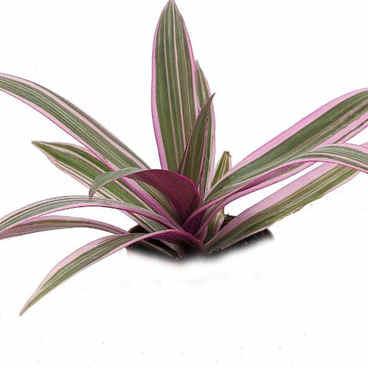 spathacea variegata.jpg