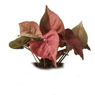 Syngonium maroon.jpg