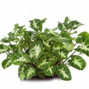 Syngonium Green.jpg