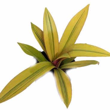 spathacea yellow.jpg