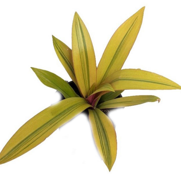 spathacea yellow.jpg