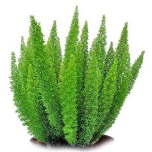 Asparagus Mayerri Plant - Foxtail Fern