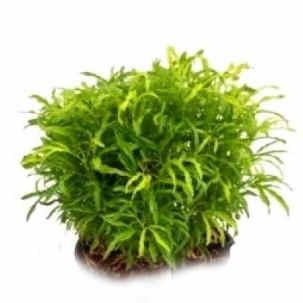 Arelia Green - Aralia Plant, Aralia Gold