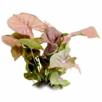 Syngonium Pink.jpg