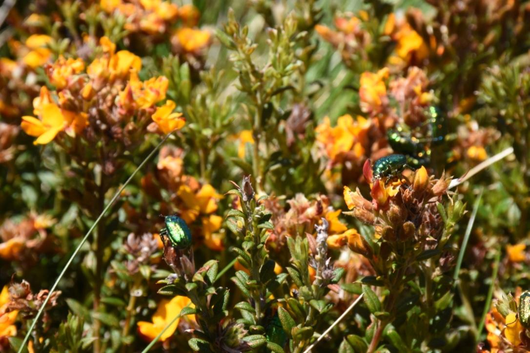 Wildflowers at Thredbo