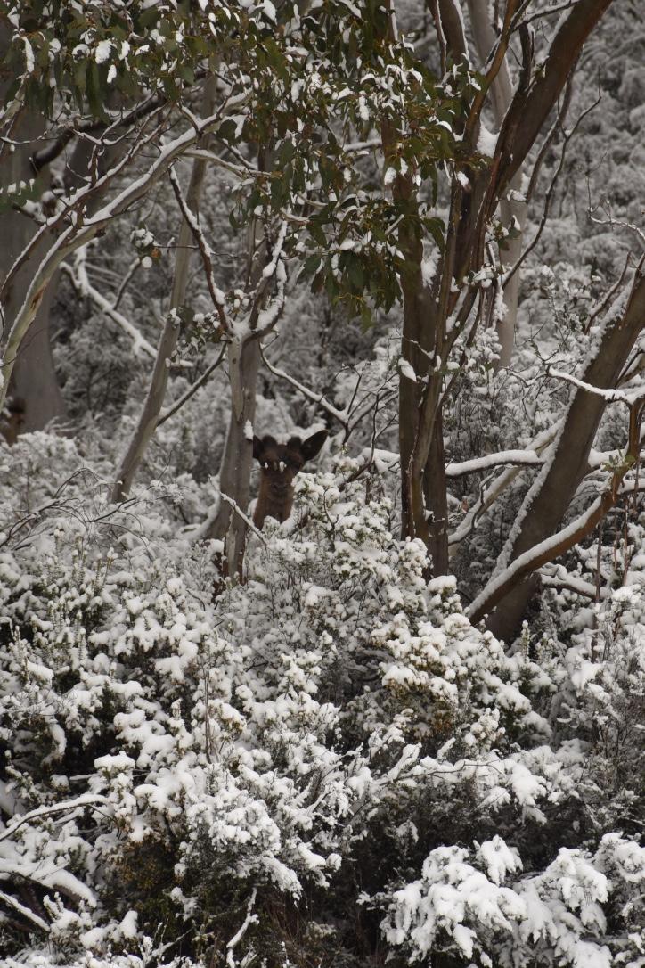 Deer in the snow at Thredbo