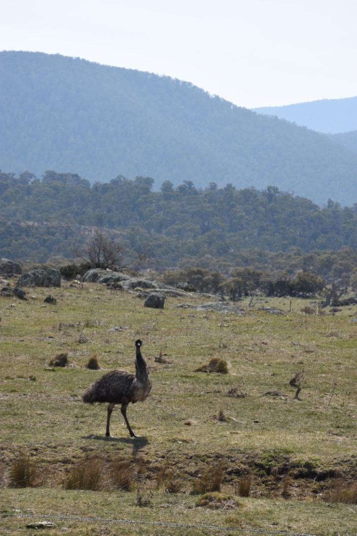 Emus beside the Alpine way on the way to Thredbo