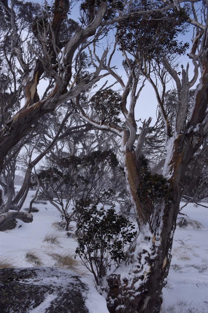 Snowgums at Antons in Thredbo