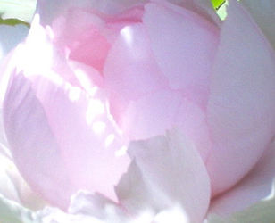 Soft Rose 2.JPG