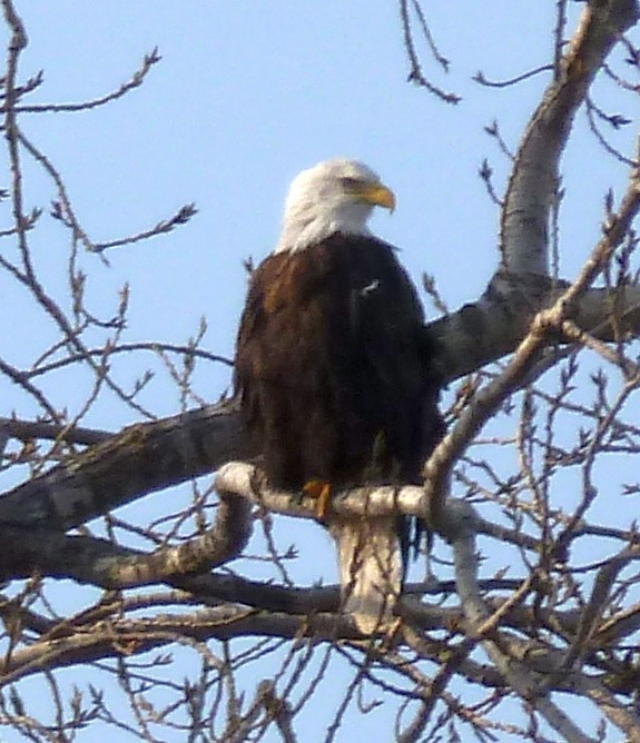 bald eagle on Ohio River