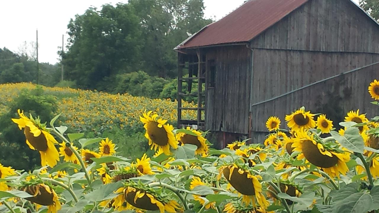 Mick's field of sunflowers