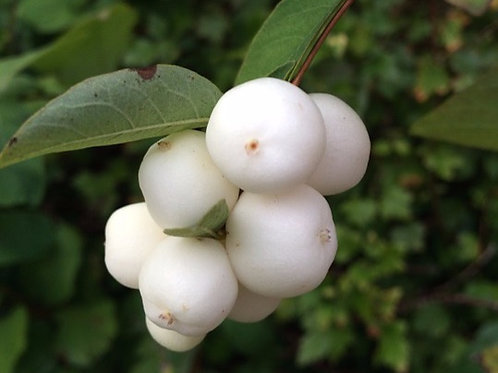 WHITE BERRY BUSH 'GUWARL'(FROZEN)