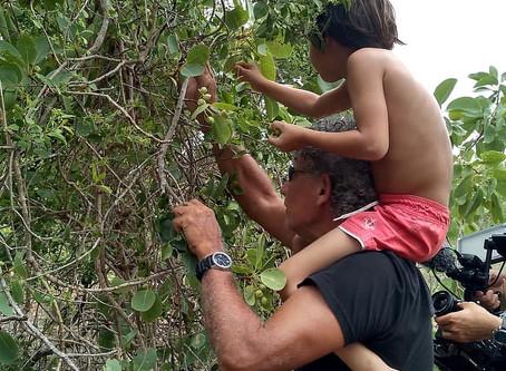 ETHICAL & SUSTAINABLE HARVESTING of the Kakadu Plum