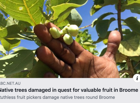 Native Trees damaged in quest for valuable fruit in Broome