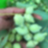 Kakadu Plum Wild Harvesting Mayi Harvest