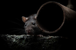 rat-and-pipe