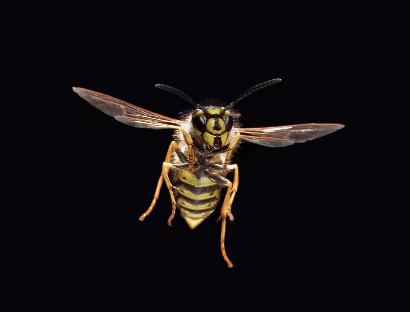 wasp-l