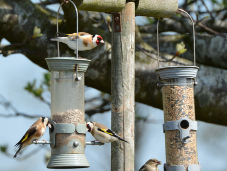 Goldfinches Hungry