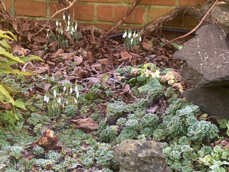 Looking Forward to seeing the Daffodils