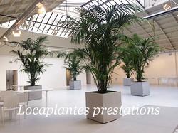 palmiers kentias