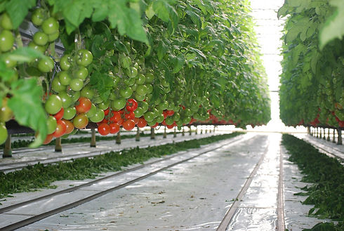 greenhouse tomatoes 2.jpg