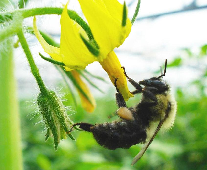 bumblebeeweb.jpg