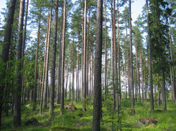 sawn timber forest
