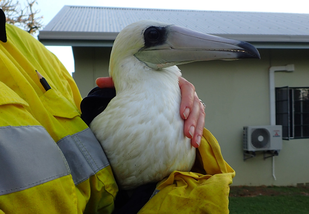 Abbott's booby rescued during survey