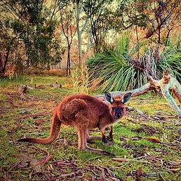 Eden Valley Kangaroo.jpg