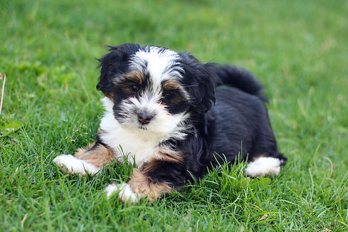 Bichon Shih Tzu Puppies