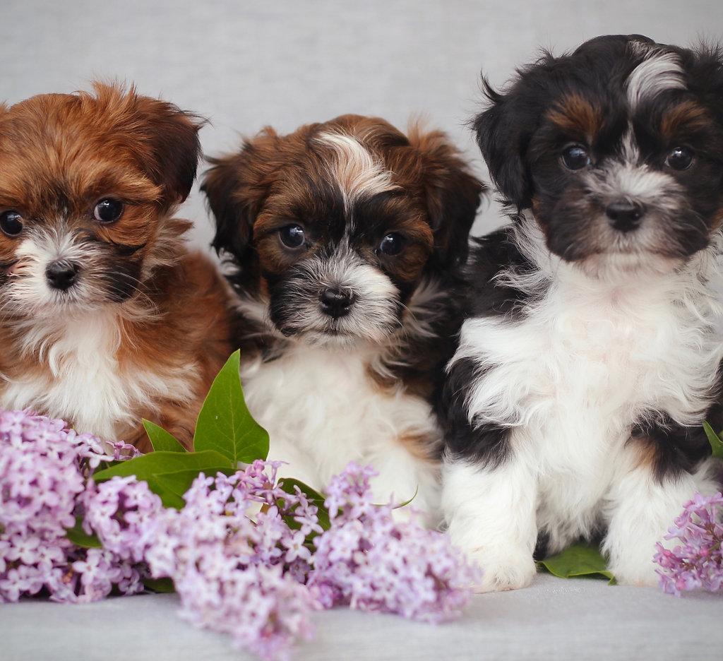 Baby Barks | Calgary Bichon Shih Tzu Puppies