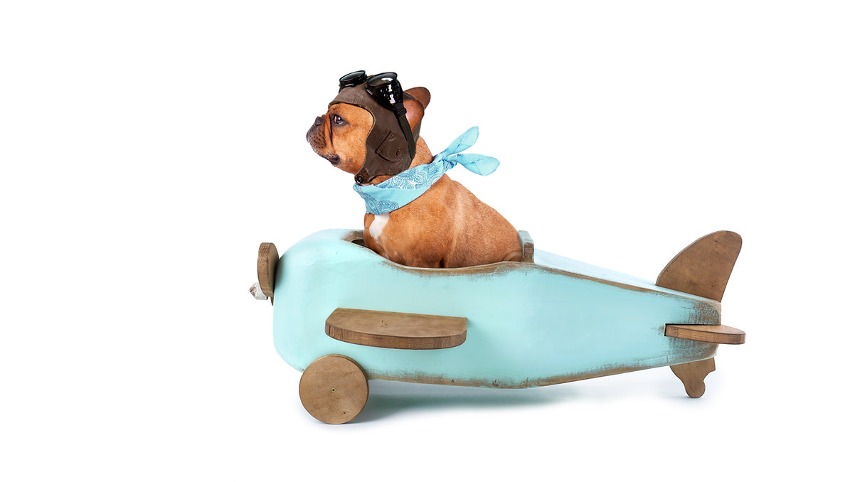 humorous french bulldog flying on wooden airplane, isolated on white
