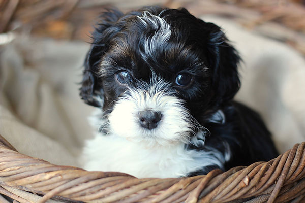 Bichon Shih Tzu Puppy