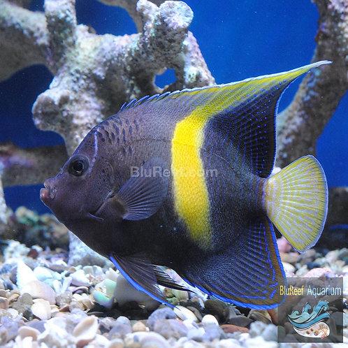 Maculosus Angelfish (Pomacanthus maculosus)