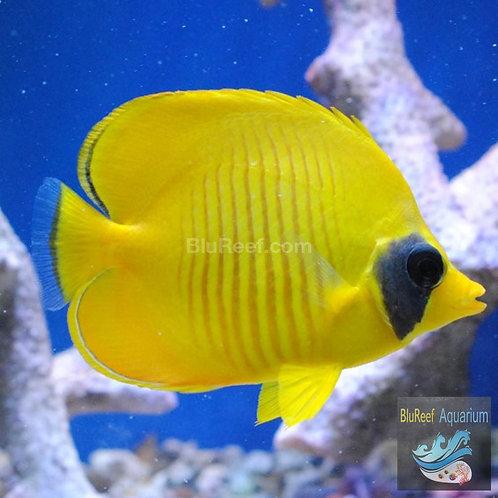 Golden Semilarvatus Butterflyfish (Chaetodon semilarvatus)