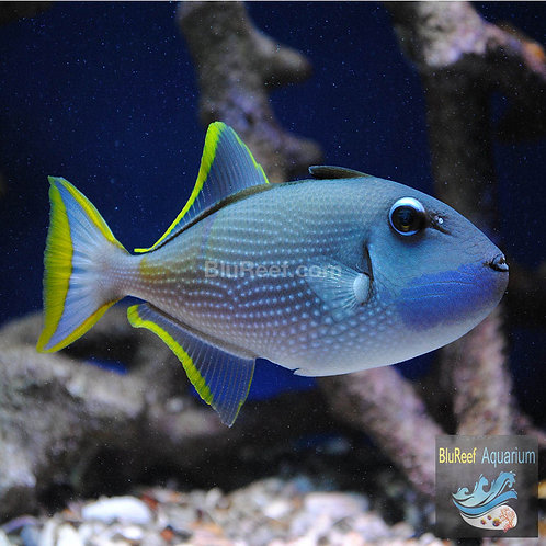 Blue Throat Triggerfish (Xanthichthys auromarginatus)