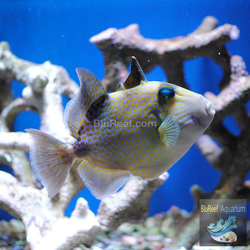 Bluelined Triggerfish (Pseudobalistes fuscus)