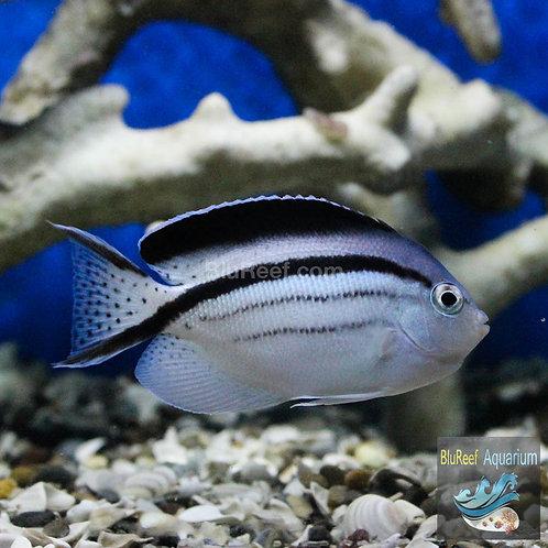 Lamarck's Angelfish (Genicanthus lamarck)