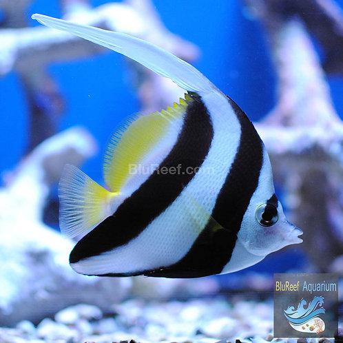 Heniochus Black & White Butterflyfish Longfin Bannerfish (Heniochus Acuminatus)