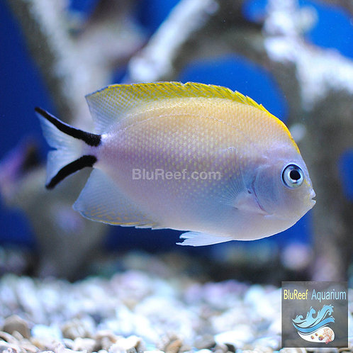 Spotbreast Angelfish (Genicanthus melanospilos)