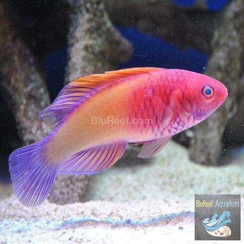 Red Velvet Fairy Wrasse (Cirrhilabrus rubrisquamis)