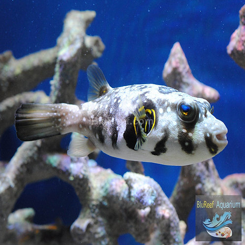 Stars & Stripes Puffer (Arothron hispidus)