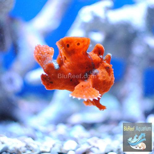 Red / Orange Wartskin Angler Frogfish (Antennarius striatus)