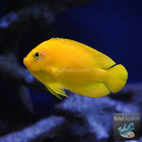 Yellow Angelfish (Centropyge Heraldi)