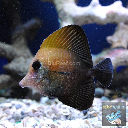 Scopas Tang (Zebrasoma scopas)