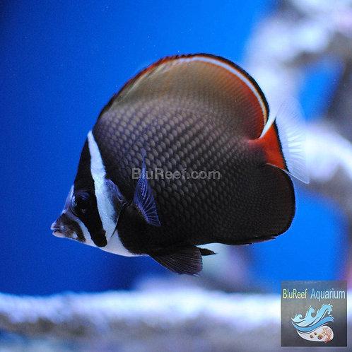 Pakistan Redtail Butterflyfish (Chaetodon Collare)