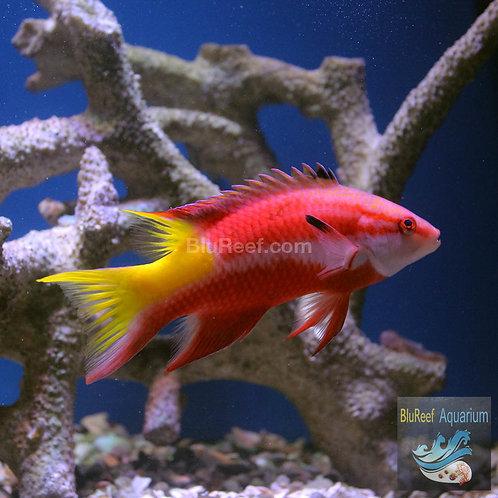 Cuban Hogfish (Bodianus pulchellus)