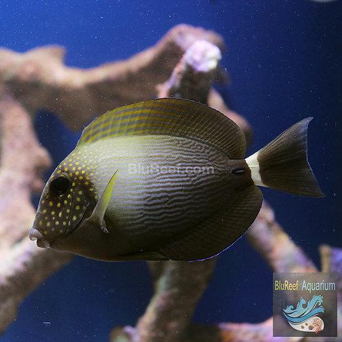 Maculiceps Tang (Acanthurus maculiceps)