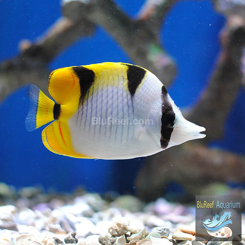 Double Saddle Butterflyfish (Chaetodon ulietensis)