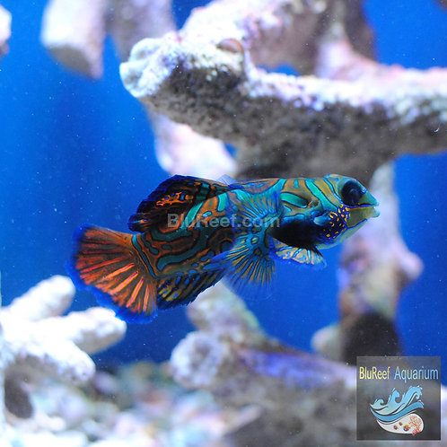 Blue Mandarin (Synchiropus splendidus)